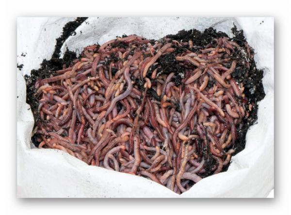 1kg13,17€ Jenzi Wurm-Erde 300g Tau//Rotwürmer//Dendrobena lange frisch halten